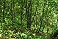 Woodland on Bodigga Cliff (9943).jpg