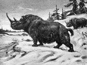 Woolly rhinoceros - Restoration of a woolly rhinoceros by Charles R. Knight.