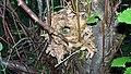 Wren Nest 11-06-09 (3651653162).jpg
