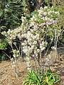 Xanthoceras sorbifolium (Maria Serena).jpg