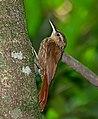 Xiphorhynchus fuscus 1.jpg
