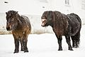 Yawning horse in Norway 1.jpg