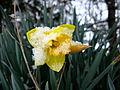 Yellow-daffodil-flower-spring-snow1 - West Virginia - ForestWander.jpg