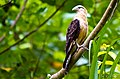 Yellow-headed Caracara.jpg