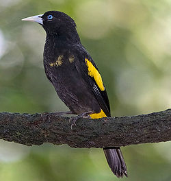 Yellow-rumped Cacique - male.jpg