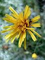Yellow Flower, after snowfall.jpg