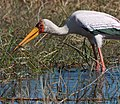 Yellow billed stork and fish (6198978688).jpg