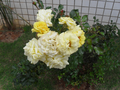 Yellow roses from a church in Brasília, Brazil.png