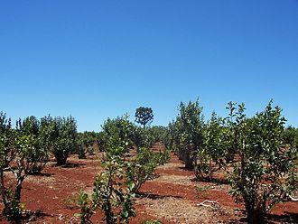Yerba mate - Plantation in Misiones, Argentina