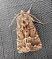 Yet another Straw Underwing moth ... (28643911191).jpg