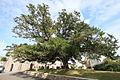 Yew tree.JPG