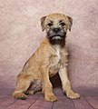 Young Male Border Terrier.jpg