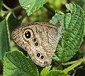 Ypthima baldus - Common Five-ring 10.JPG