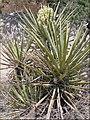 Yucca Plant Bloom, Joshua Tree NP 4-13-13 (8689098955).jpg