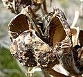 Yucca whipplei seedpod.jpg