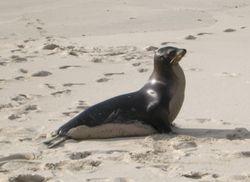 Une otarie des Galápagos