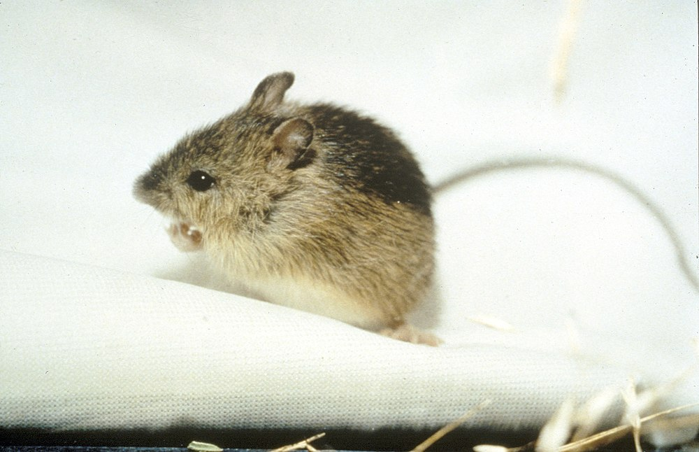 The average litter size of a Meadow jumping mouse is 5