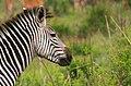 Zebra - Ruaha National Park - Tanzania.jpg