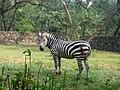 Zebra in punjab.jpg