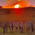 Zebras at sunset today at Rietvlei (36793270352).jpg