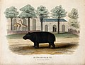 Zoological Society of London; a hippopotamus. Coloured etchi Wellcome V0023131.jpg