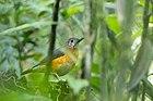 Фотография темной птицы с оранжевым животом, стоящей на земле.