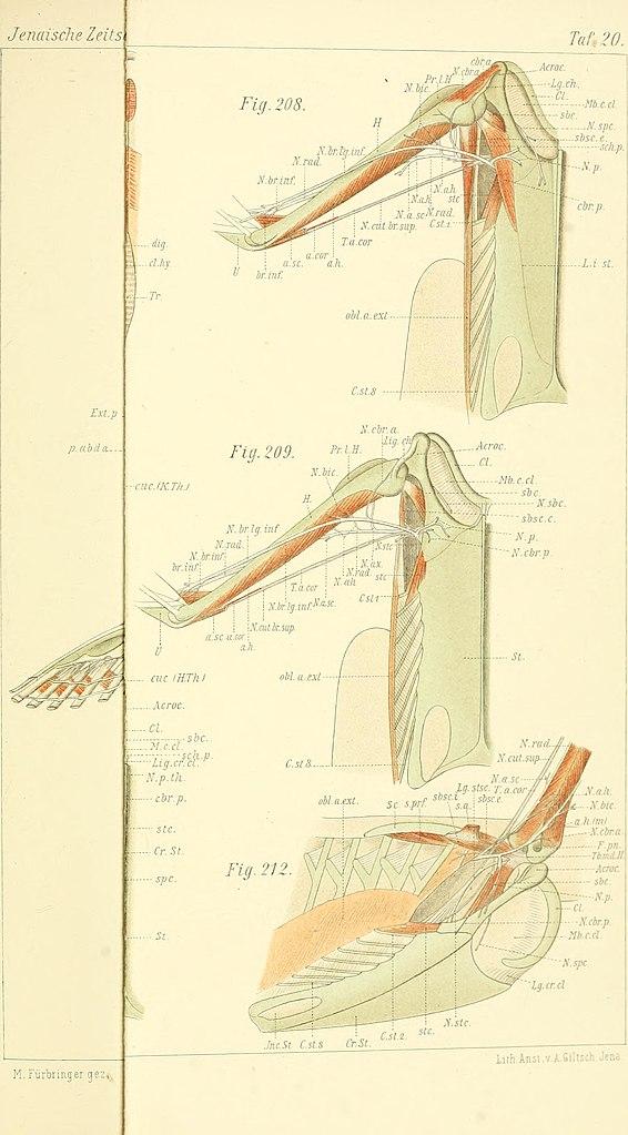 File:Zur vergleichenden Anatomie des Brustschulterapparates und der ...