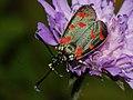 Zygaena centaureae (40528635605).jpg