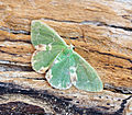 (1667) Blotched Emerald (Comibaena bajularia) (18752160793).jpg