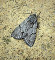 (2284) Grey Dagger (Acronicta psi) (36578679551).jpg