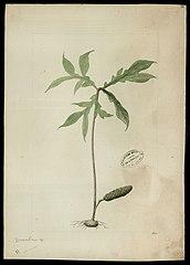 (Dracontium, sp)