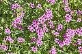 (MHNT) Oxalis articulata - Habit.jpg