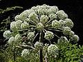 * Berg-Wald-Engelwurz - Angelica sylvestris montana.jpg