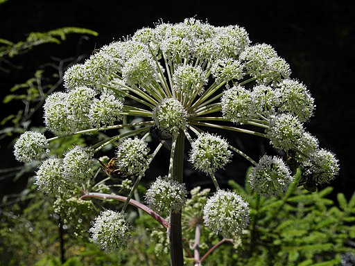 * Berg-Wald-Engelwurz - Angelica sylvestris montana