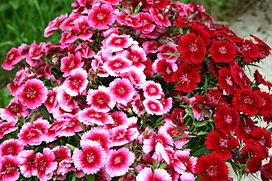 Œillets (Sweet William).jpg