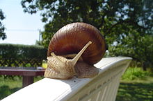 A photograph of a snail with a table and glass of juice in the background