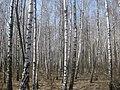 Березовий ліс по дорозі на Гнідин.jpg
