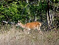 Благородный олень - Cervus elaphus - Red deer - Благороден елен - Rothirsch (37600538282).jpg