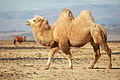 Верблюд в Чуйской степи.jpg