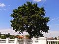Дерево на скале г. Каменец- Подольский.jpg