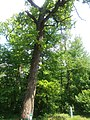 Еталон модриново-ясеневого насадження з домішками сосни і дуба звичайного.jpg