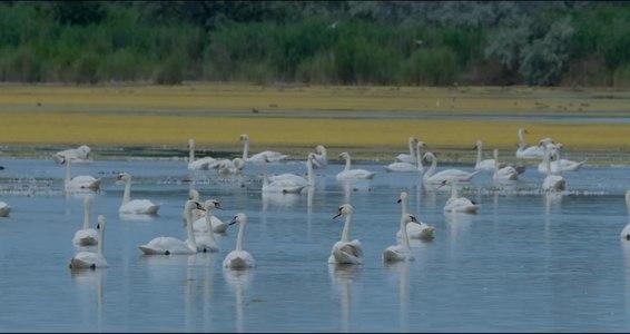 File:Зграя Лебедів.webm
