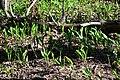 Змієві вали Конвалія DSC 0587.jpg