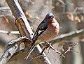 Зяблик - Fringilla coelebs - Common chaffinch - Обикновена чинка - Buchfink (33755870016).jpg
