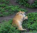 Київський зоопарк Леви 10.JPG