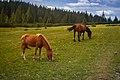 Коні на полонині Рущина.jpg