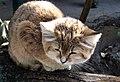 Миколаївський зоопарк, кіт барханний.JPG
