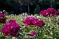 Пионы, Ботанический сад, Минск - panoramio.jpg