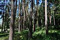 Сосновий парк Лохвиця 6.jpg