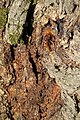 Стабло храста лужњака Стражев у Синошевићима крај Горњег Милановца, 04.jpg
